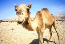 camel pic